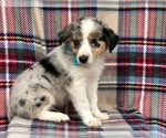 Ollie the ACA Mini Australian Shepherd
