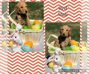 Poodle (Standard) Puppy for sale in BROCK, TX, USA