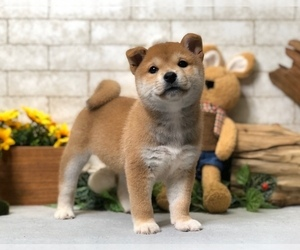 Shiba Inu Puppy for Sale in BEVERLY HILLS, California USA