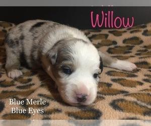 Miniature Australian Shepherd Dog for Adoption in MICAVILLE, North Carolina USA