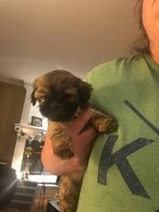 Shih Tzu Puppy For Sale in SHAWNEE, KS, USA