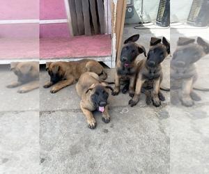 Belgian Malinois Puppy for sale in GARDENA, CA, USA