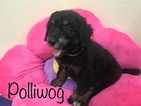Bordoodle Puppy For Sale in YORKTOWN, TX, USA
