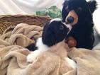 Japanese Chin Puppy For Sale in DAVISVILLE, MO, USA