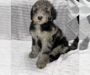 Goldendoodle Puppy for sale in METAIRIE, LA, USA