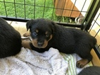 Rottweiler Puppy For Sale in LAKELAND, Florida,