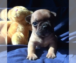 French Bulldog Puppy for Sale in ELIZ CITY, North Carolina USA