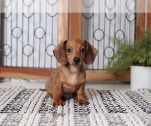 Dachshund Dog for Adoption in NAPLES, Florida USA