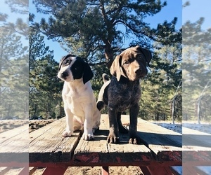 American Pit Bull Terrier Puppy for sale in FLORISSANT, CO, USA