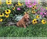 Small #9 Goldendoodle-Poodle (Miniature) Mix