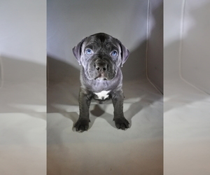 American Bully Puppy for Sale in HOUSTON, Texas USA