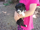 Registered Male Border Collie Puppy