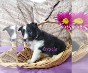 Shetland Sheepdog Puppy for sale in COLBY, WI, USA