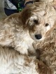 Goldendoodle Puppy For Sale in CANON CITY, CO, USA