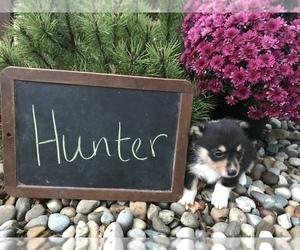Pembroke Welsh Corgi Puppy for sale in ARCOLA, IL, USA