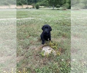Labrador Retriever Puppy for Sale in ADAIRSVILLE, Georgia USA