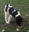 Akita Puppy For Sale in LEBANON, PA
