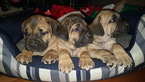 Cane Corso Puppy For Sale in GEORGETOWN, DE