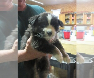 Australian Shepherd Puppy for Sale in AUBURN, Indiana USA