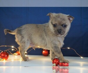 Jack-A-Ranian Puppy for sale in FREDERICKSBG, OH, USA