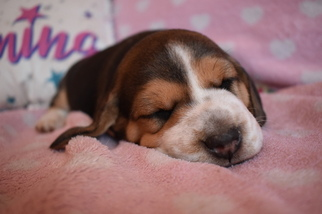 Gorgeous Litter of 4 AKC Ch Lines Beagle Puppies