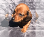 Small Photo #3 Dachshund Puppy For Sale in GRANBY, CT, USA