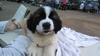 Saint Bernard Puppy For Sale in CORNING, California,