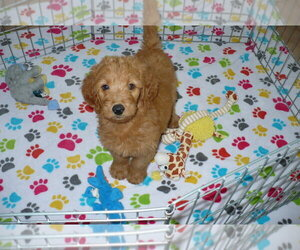 Goldendoodle Puppy for sale in ORO VALLEY, AZ, USA