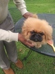 Pekingese Puppy For Sale in ATHENS, GA, USA