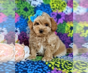 Maltipoo Puppy for sale in NOTTINGHAM, PA, USA
