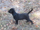 Labrador Retriever Puppy For Sale in JACKSONVILLE, AL