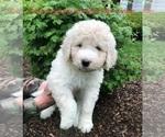pyredoodle puppy y