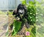 Small #6 Poodle (Standard)-Saint Berdoodle Mix