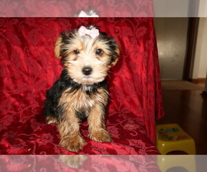 Yorkshire Terrier Puppy for sale in FORT WAYNE, IN, USA