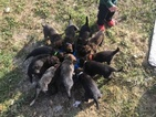 Dutch Shepherd Dog Puppy For Sale in REXBURG, ID, USA