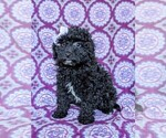 Small #2 Poodle (Miniature)