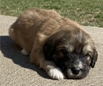 Puppy 2 Great Pyrenees-Poodle (Miniature) Mix