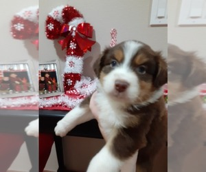 Australian Shepherd Puppy for sale in VANCOUVER, WA, USA