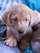 Labrador Retriever Puppy For Sale in BIG LAKE, MN, USA