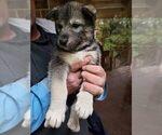 Puppy 4 Wolf Hybrid