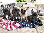 French Bulldog Puppy For Sale in CAVE CREEK, AZ, USA