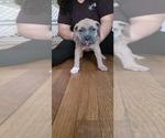 Puppy 10 American Bandogge