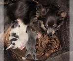 Small #10 Chihuahua