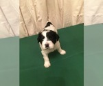 Small #7 Portuguese Water Dog