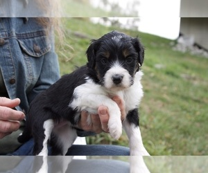 Aussiedoodle-Poodle (Standard) Mix Puppy for sale in CO BLUFFS, IA, USA
