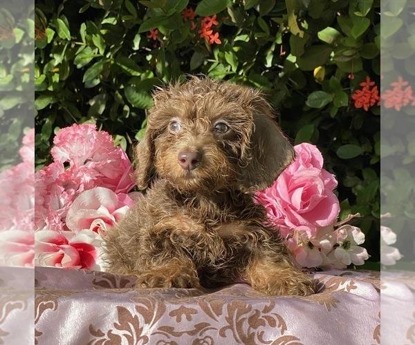 Medium Photo #2 Dachshund Puppy For Sale in MIAMI, FL, USA