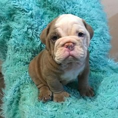 View Ad English Bulldog Puppy For Sale Massachusetts Boston Usa