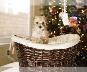 Yorkiepoo Mix Dog for Adoption in FULLERTON, California USA