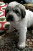 Great Pyrenees Puppy For Sale in PULLMAN, Washington,