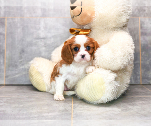 Cavalier King Charles Spaniel Puppy for sale in CLEVELAND, NC, USA